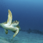 Green Sea Turtle with a Raised Fin