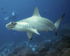 Greater Hammerhead Shark