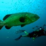 Tropic Scuba Dive Goliath Grouper